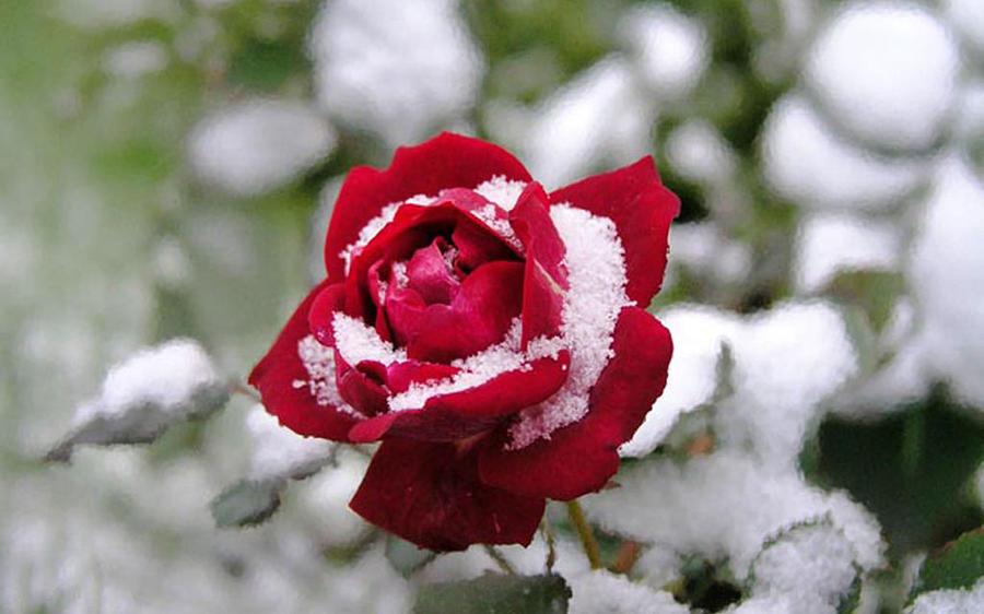 Rose Digital Art - Rose by Dorothy Binder