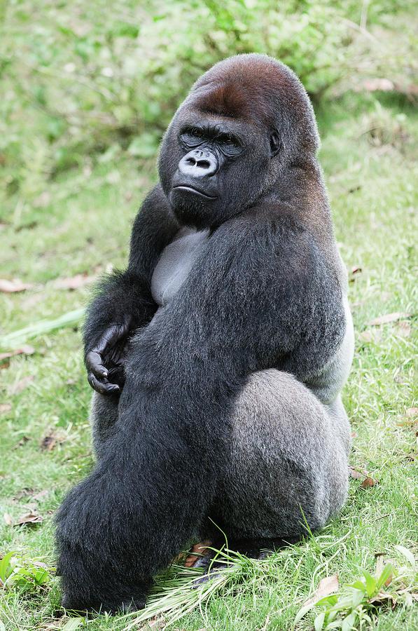 Gorilla Photograph - Silverback Gorilla by Bruce Beck