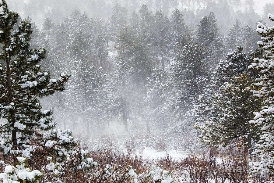 Snowstorm In The Pike National Forest Photograph
