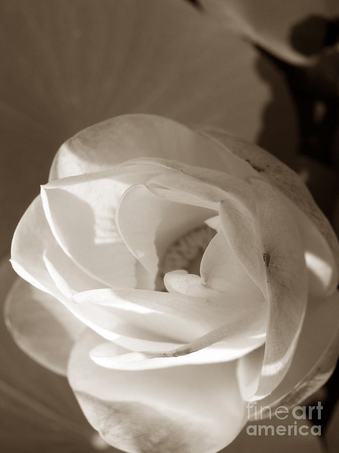 Lotus Photograph - Softly by Amanda Barcon