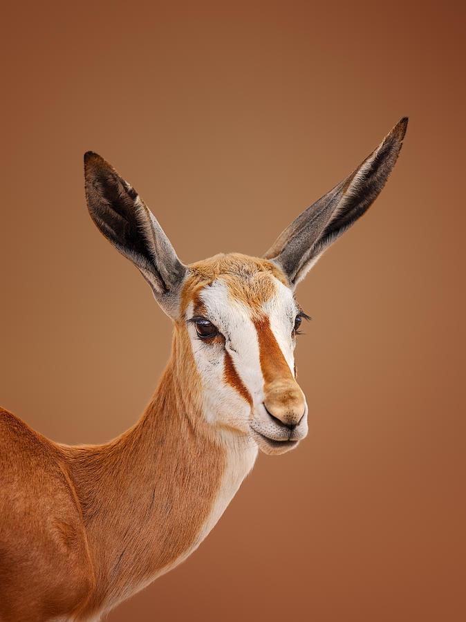 Springbok Portrait Photograph