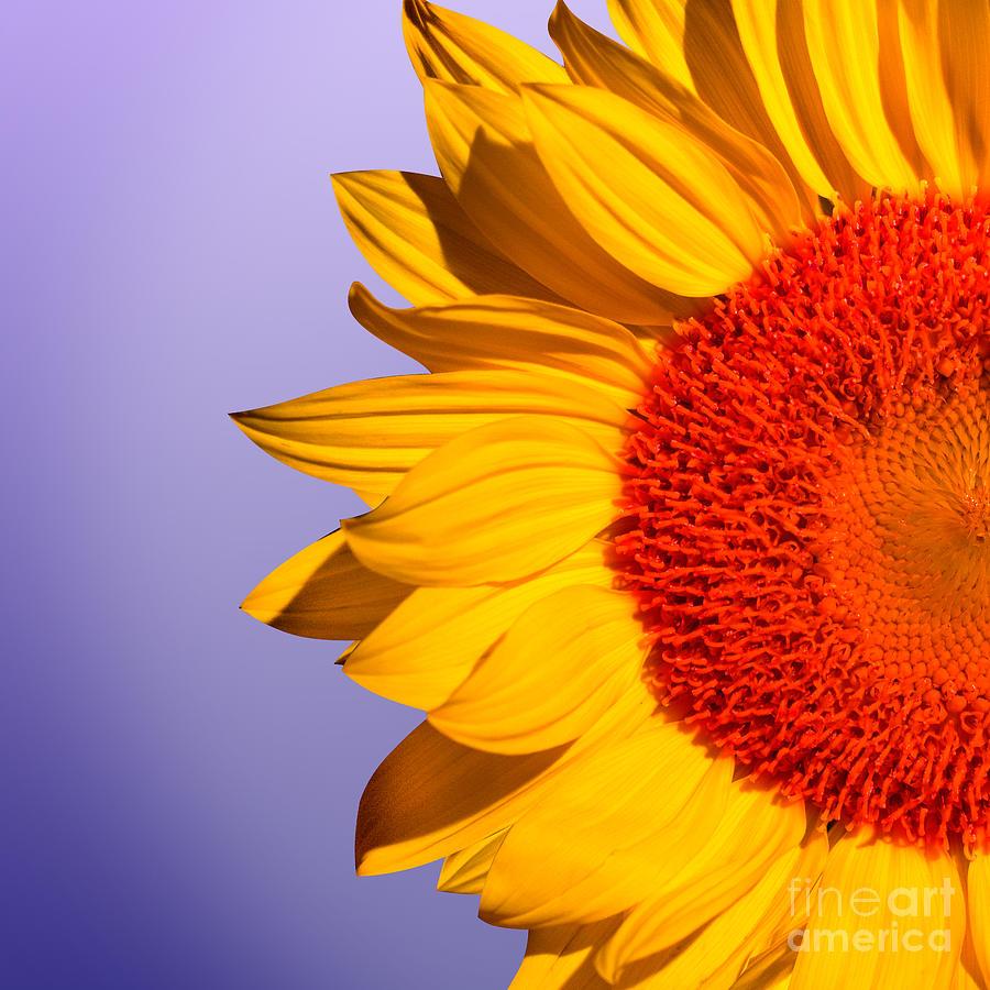 Sunflowers Photograph - Sunflowers by Mark Ashkenazi