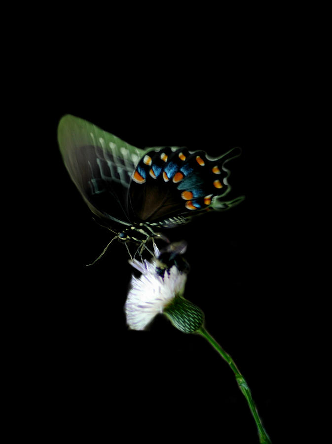 swallowtail by David Weeks