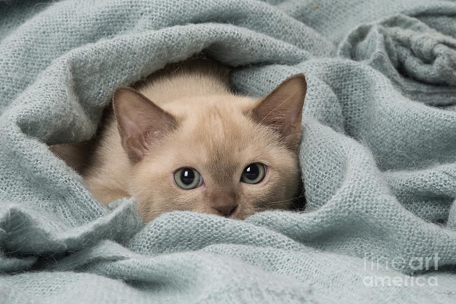 Tonkinese Cat Siamese And Burmese Cross Cute Kitten In Blanket Photograph By Mary Evans Picture Library