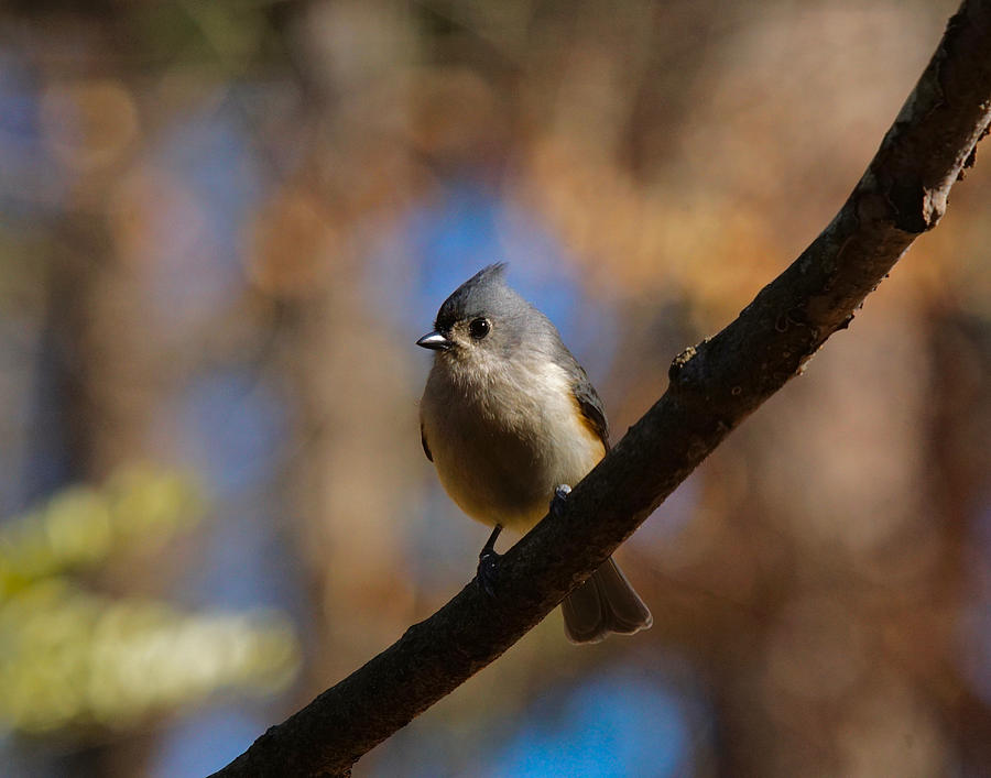 Tufted Titmouse Photograph - Tufted Titmouse by Robert L Jackson