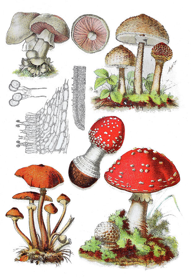 Various Mushrooms Drawing by Heinz Tschanz-Hofmann