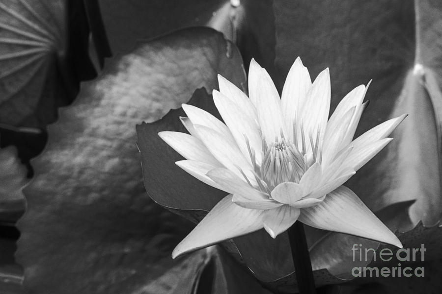 Art Medium Photograph - Water Lily by Bill Brennan - Printscapes