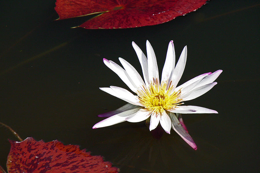 Water Photograph - Water Lily by David Campbell