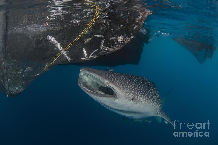 Whale Shark Sucking At Fishing Nets Photograph