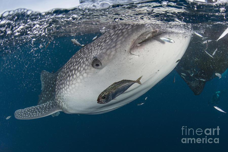 Whale Shark Swimming Photograph