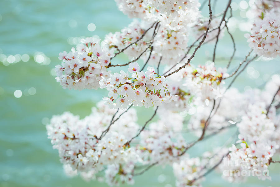 White Cherry Blossoms Trees Photograph By Leslie Banks