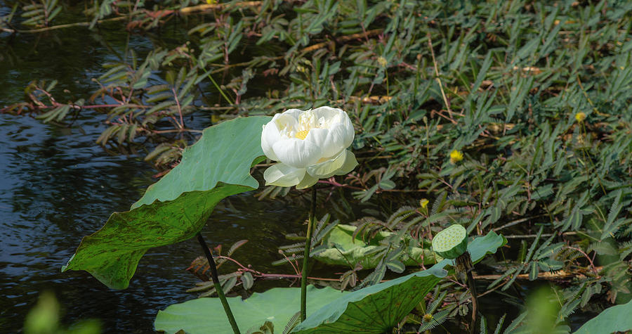 White Lotus Flower Flower Lotus Nature Summer Green Plant Blossom Asian Photograph by Sirawich Rungsimanop