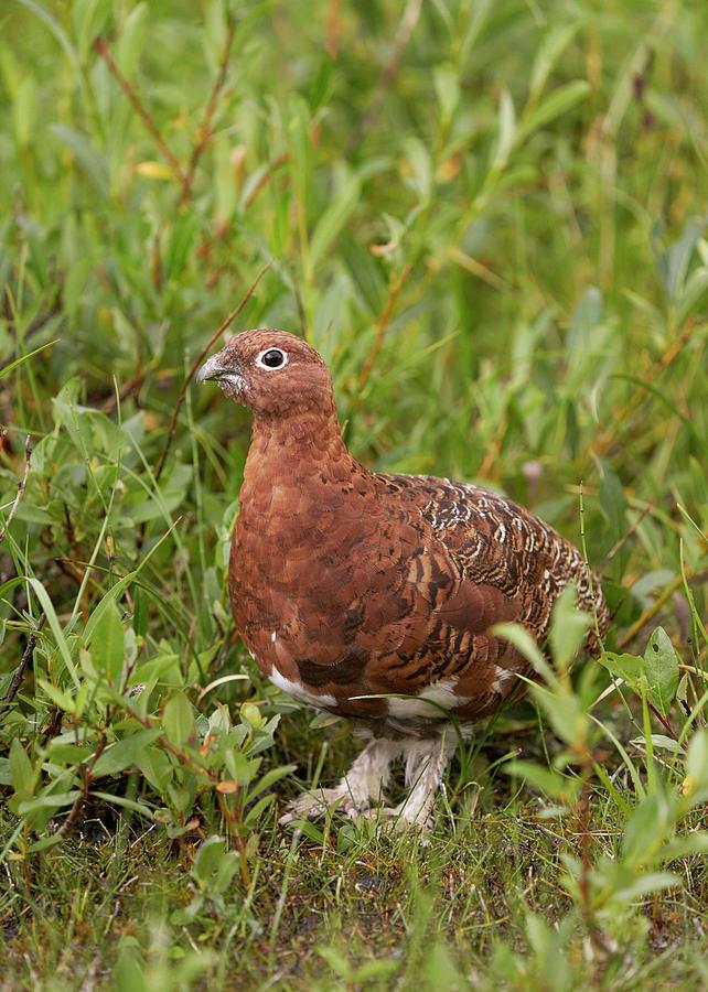 Birds Photograph - Willow Ptarmigan by Doug Herr
