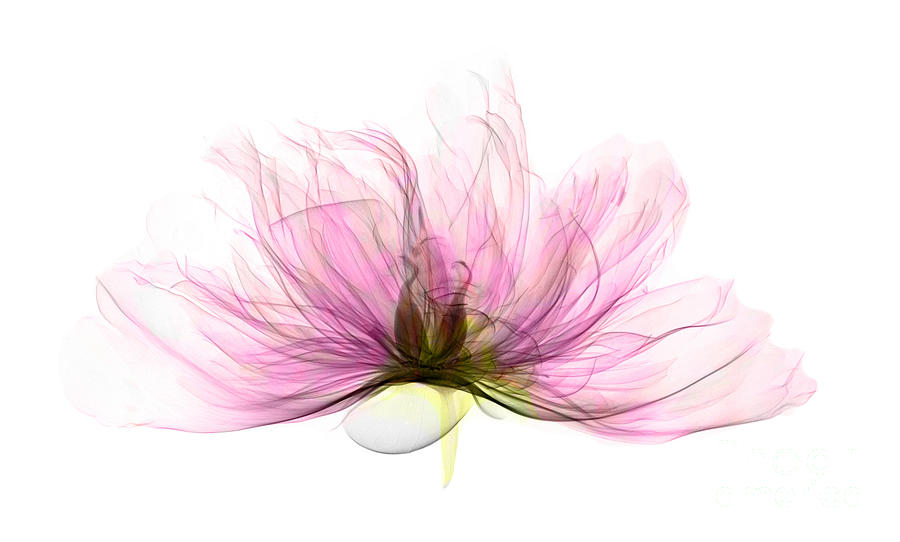 Xray Photograph - X-ray Of Peony Flower by Ted Kinsman