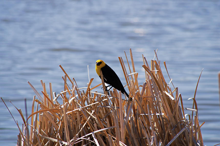 Yellow Photograph - Yellow Headed Blackbird by Robert Braley