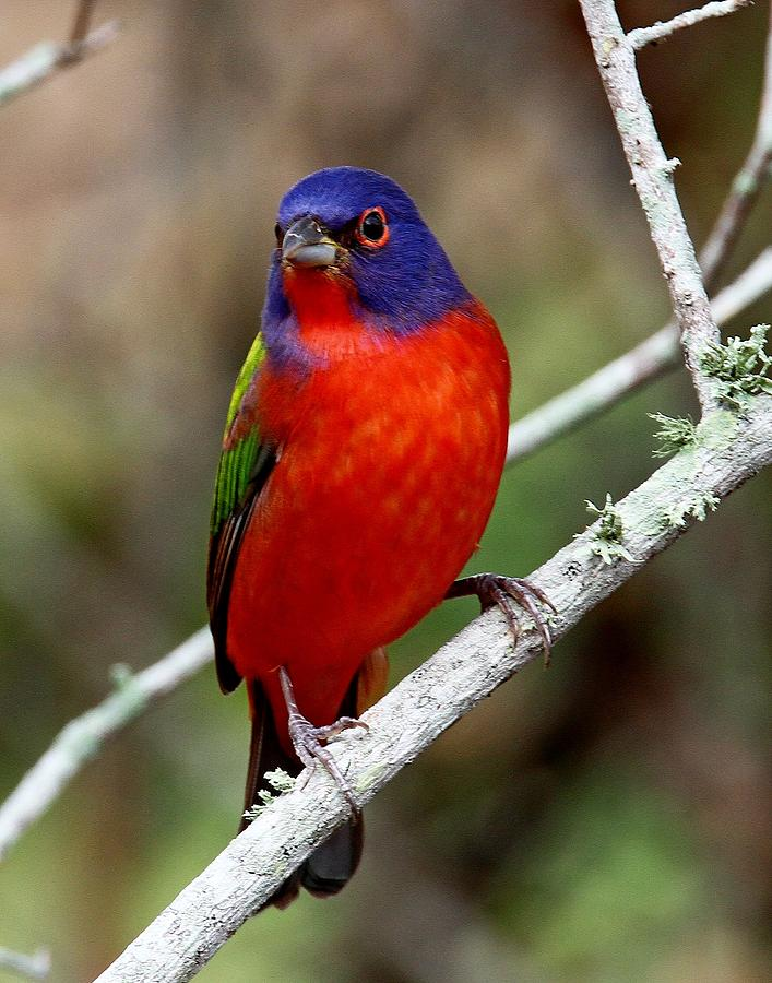 Painted Bunting by Ira Runyan