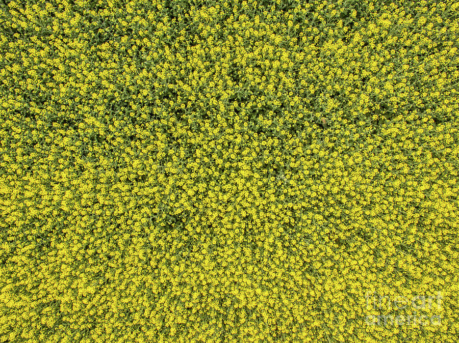 Above Photograph - Aerial View Of Rapeseed Field by Nikolay Stoimenov