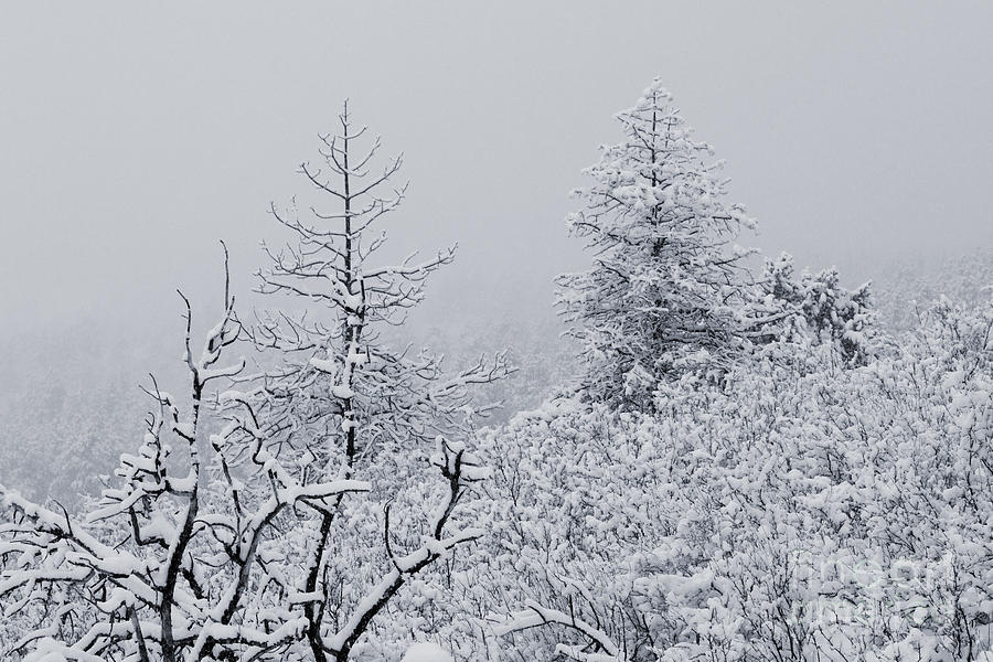 April Snowstorm In The Pike National Forest Of Colorado Photograph