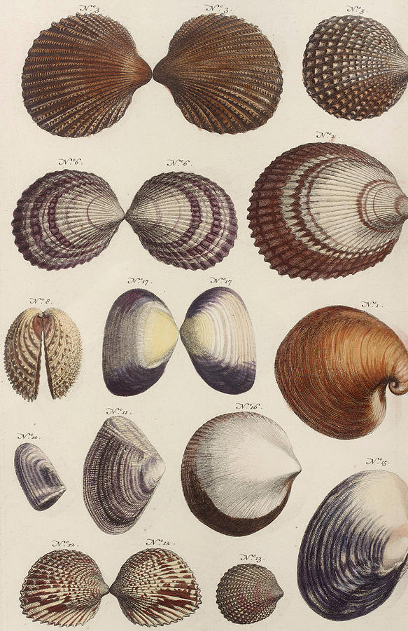 Aquatic Animals - Seafood - Shells - Mussels Drawing by Art Makes Happy