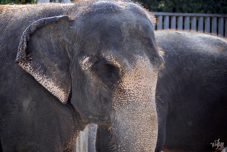 Elephant Photograph - Asian Elephant by Thea Wolff