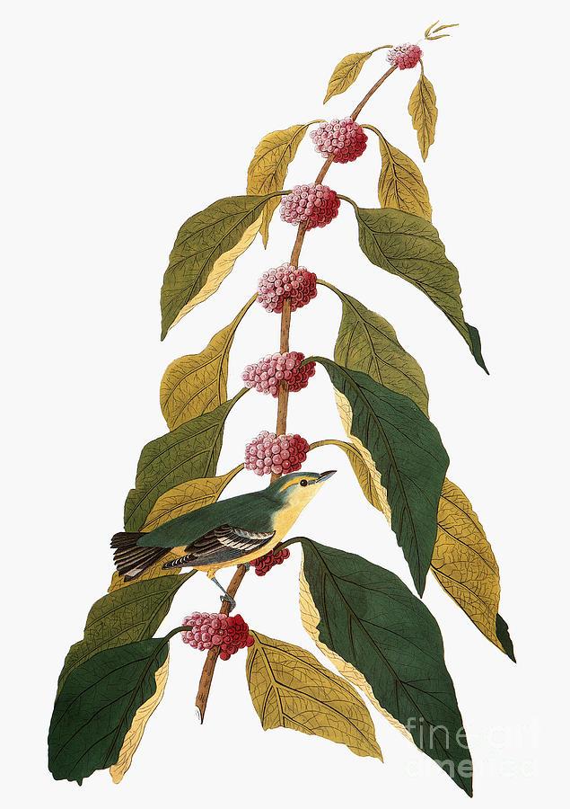 1838 Photograph - Audubon: Warbler by Granger
