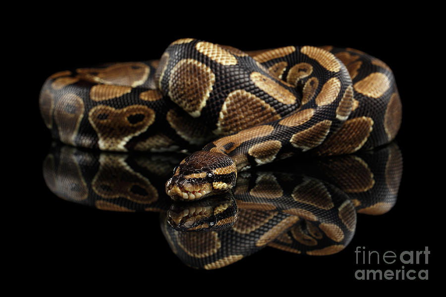 Snake Photograph - Ball Or Royal Python Snake On Isolated Black Background by Sergey Taran