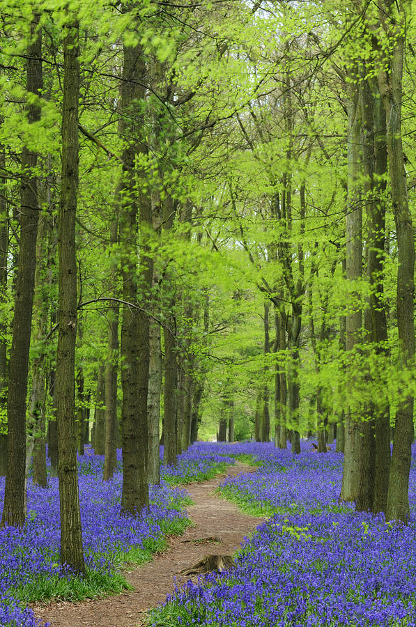 Bluebell Photograph - Bluebell Wood by Liz Pinchen
