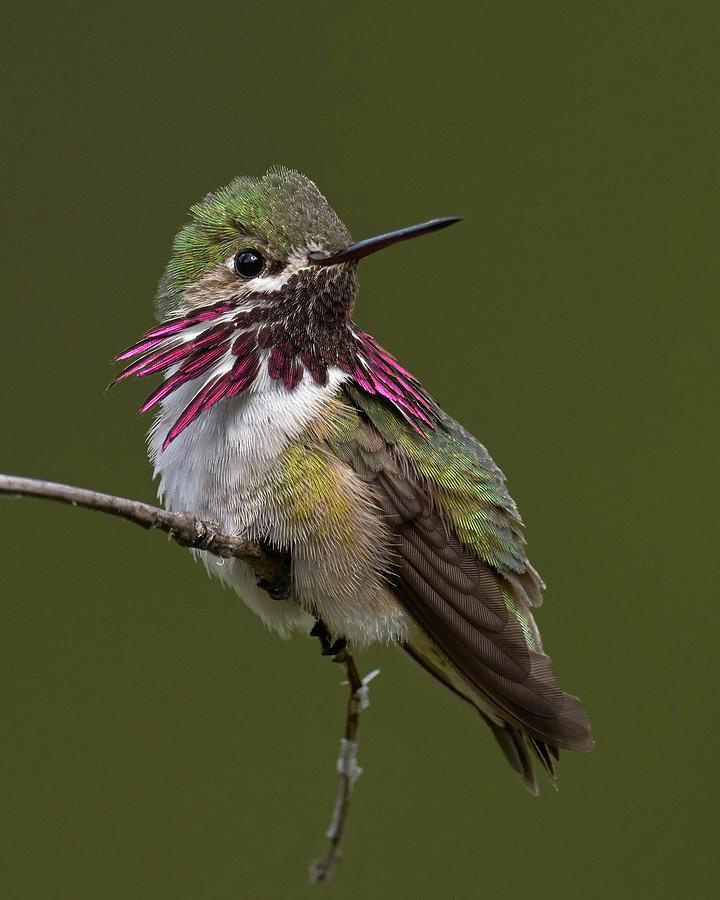 Birds Photograph - Calliope Hummingbird by Doug Herr
