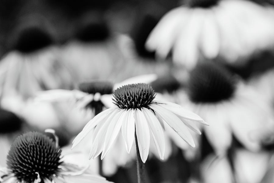 Botany Photograph - Cone Flowers by Bryan Pollard