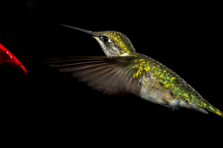 Throat Photograph - Female Ruby-throated Hummingbird by Robert L Jackson