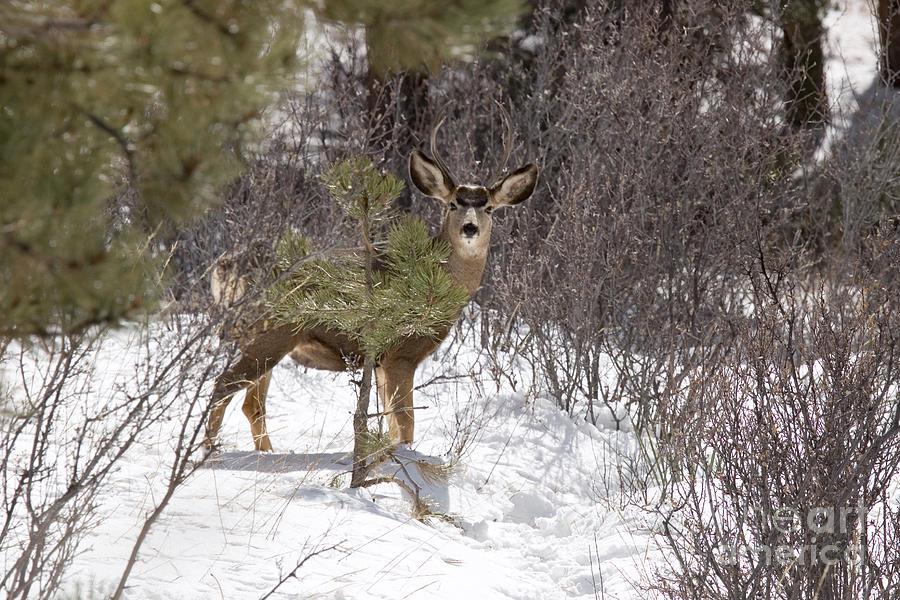 Herd Of Mule Deer In Deep Snow Photograph
