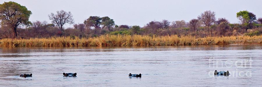 4 Hippos Hangin Photograph