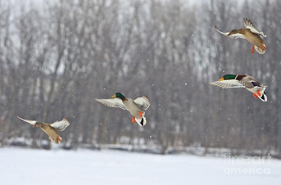 Ducks Photograph - 4 In A Row by Robert Pearson