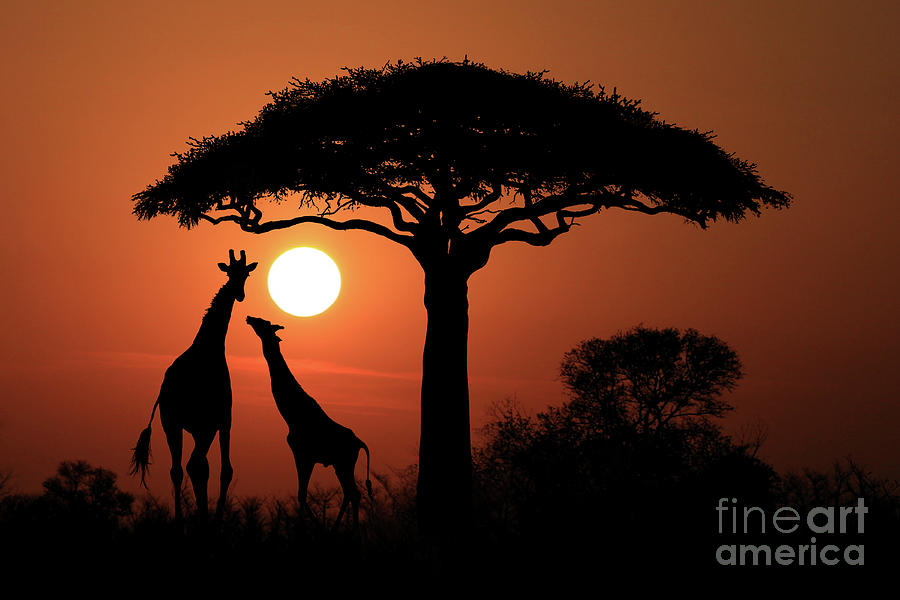 Large South African Giraffes At Sunset In Africa Digital Art By Katrina Brown