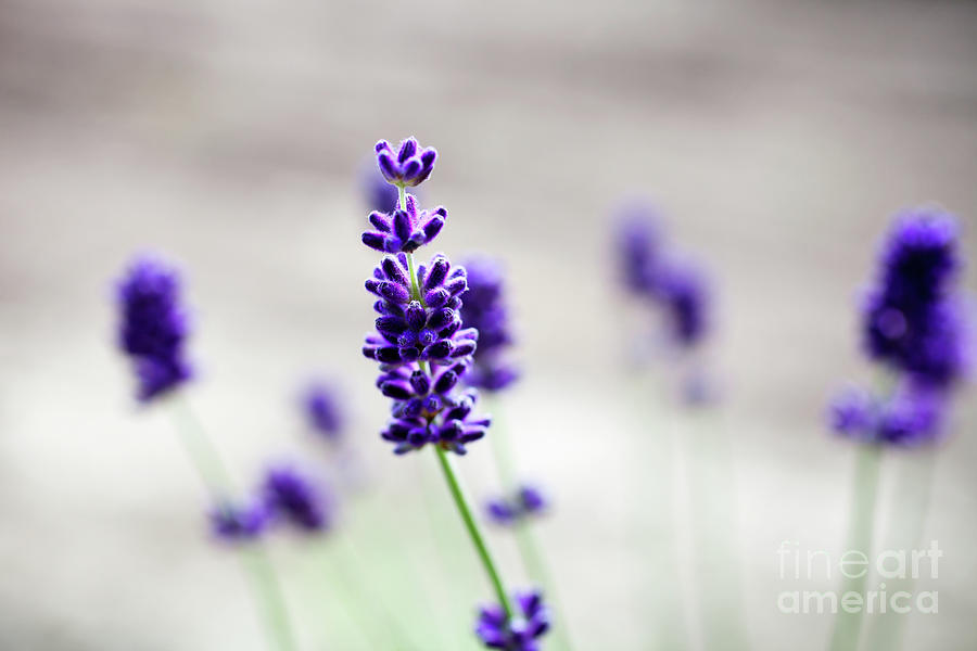 Lavender Photograph - Lavender by Kati Finell