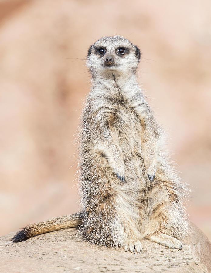 Adelaide Photograph - Meerkat by Shaun Wilkinson