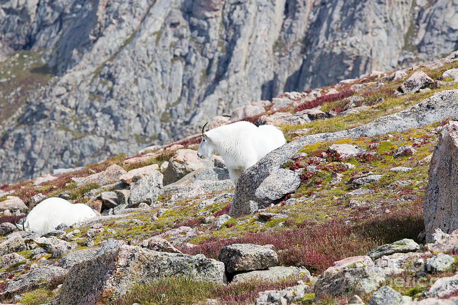Test Your Limits Mountain Goats On Bierstadt Photograph