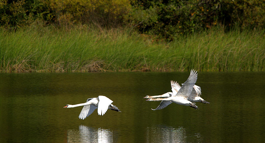 Mute Swans In Flight Over The Lake Photograph