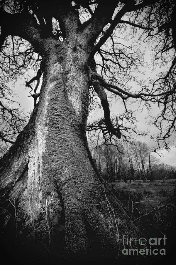 Tree Photograph - Old Tree by Ulisse Bart