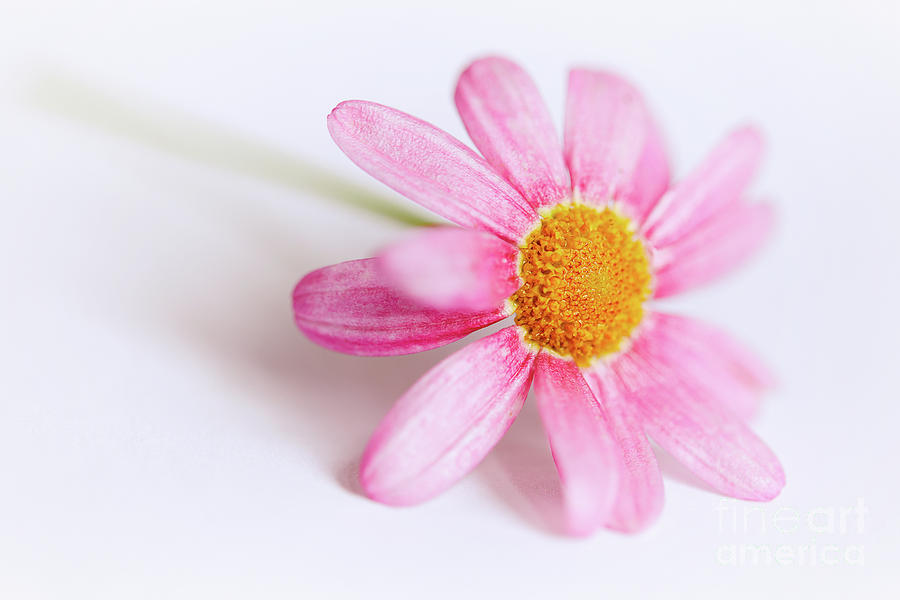 Pink Aster flower by Nick Biemans