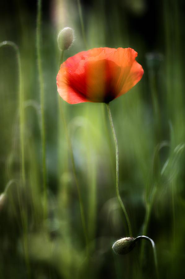 Flower Photograph - Poppy by Silke Magino