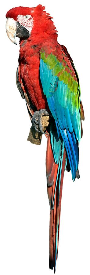 Red And Green Macaw Photograph - Red And Green Macaw by George Atsametakis