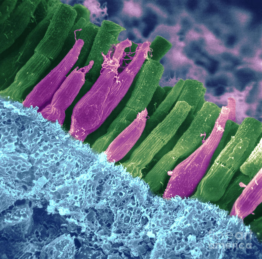 Scanning Electron Micrograph Photograph - Rods And Cones In Retina by Omikron