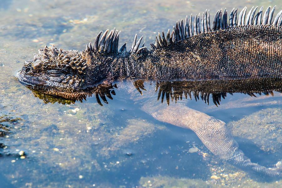 Galapagos Photograph - Santiago Marine Iguana by Harry Strharsky