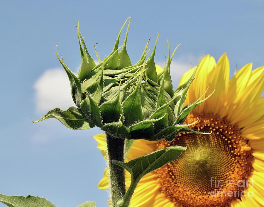 Sunflower Bud Photograph by Elvira Ladocki