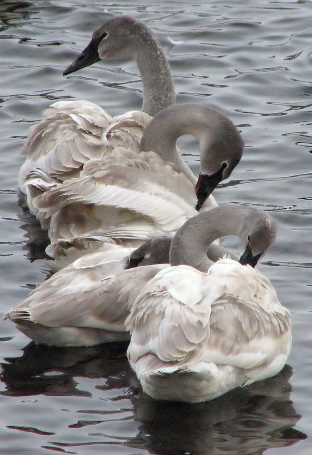Swans Photograph - 4 Swans by Laurie With