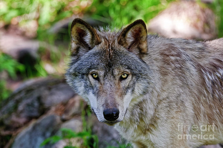 Michael Cummings Photograph - Timber Wolf by Michael Cummings