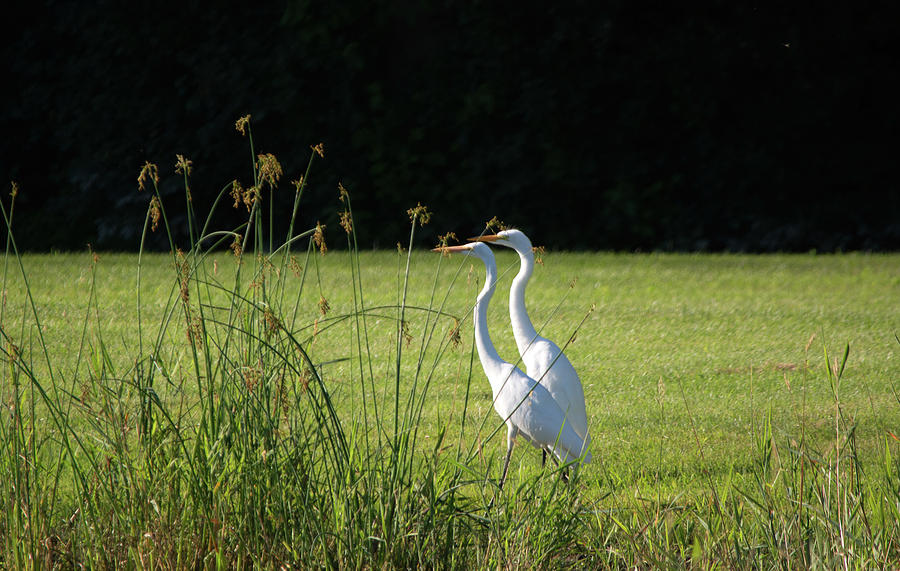 Great Egret Photograph - Two Of Them by Linda Kerkau