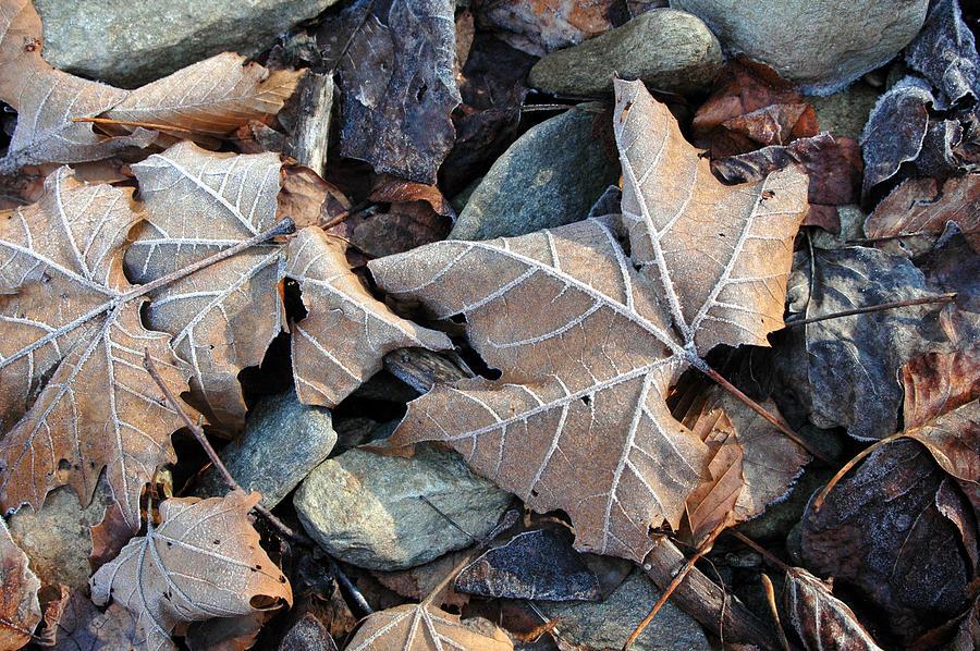 Leaf Photograph - Untitled by Kathy Schumann