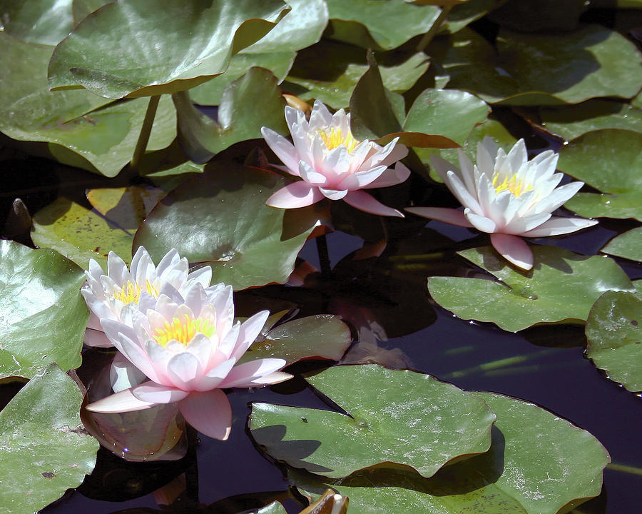 Water Lillies Photograph - 4 Water Lillies by Lance Young